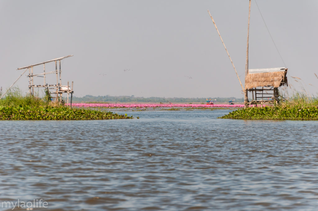 Red Lotus Lake Udon Thani Thailand Isaan Talay Bua Daeng
