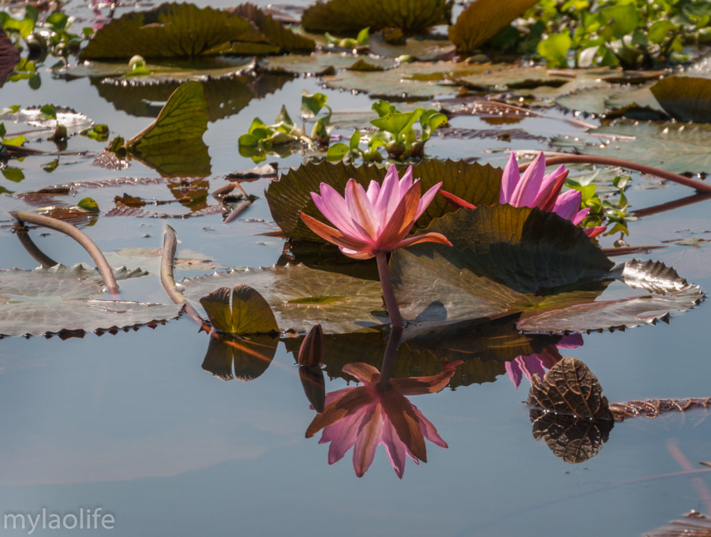 Red Lotus Lake Udon Thani Thailand Isaan reflection