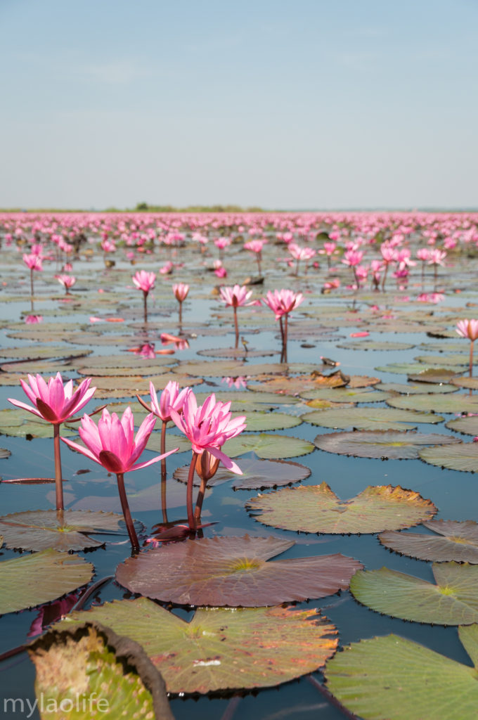 Red Lotus Lake Udon Thani Thailand Isaan Red Lotus Sea
