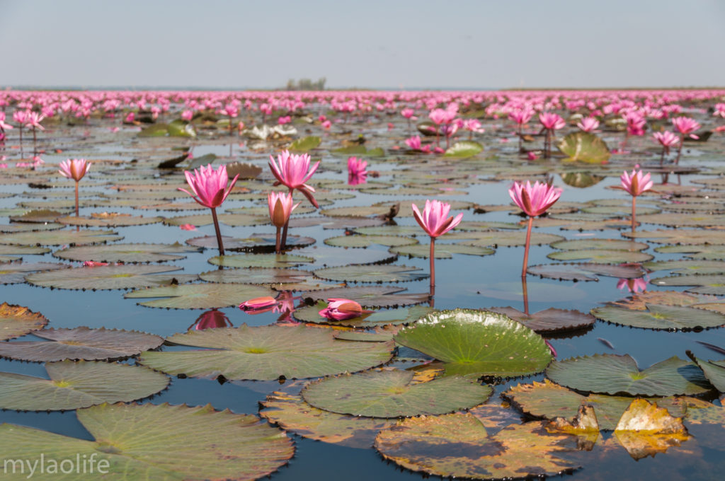 Red Lotus Lake Udon Thani Thailand Isaan